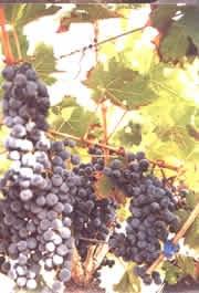 Detall d'una vinya