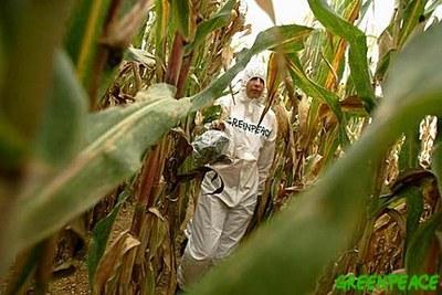 Acció de Greenpeace contra el blat de moro transgènic